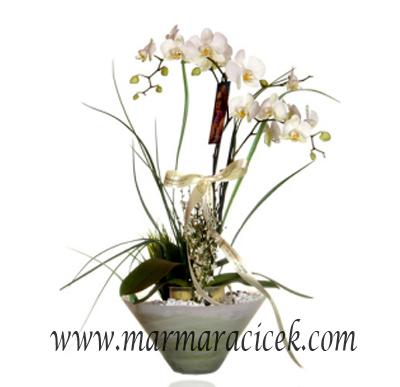 Phalaenopsis �atall� Orkide