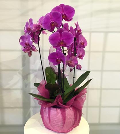 3 Dall� Fu�ya Orkide