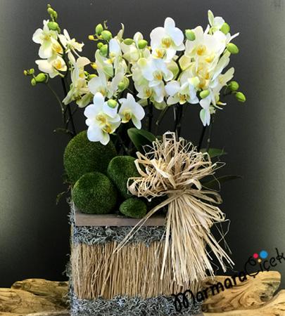 Sandýkta Bougetto Orkide