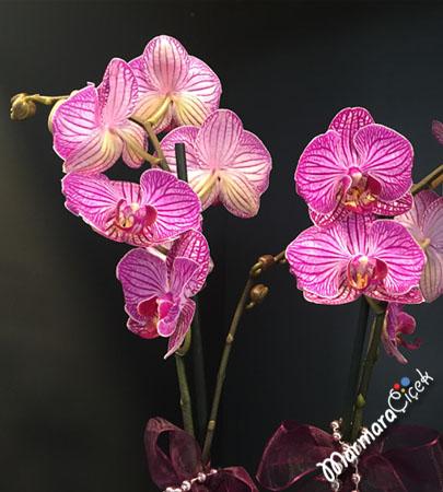 Mor Beyaz Çizgili Orkide