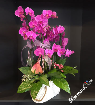 Fuþya Orkide Tanzim