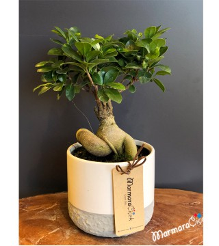 Bodur Bonsai