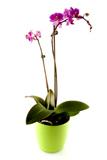 Çift Dal Fuþya Orkide