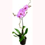 Phalanopsis Orkide Bitkisi