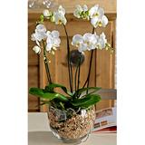 Köklü Orkide