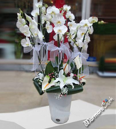 Saksýda 6 Dallý Orkide