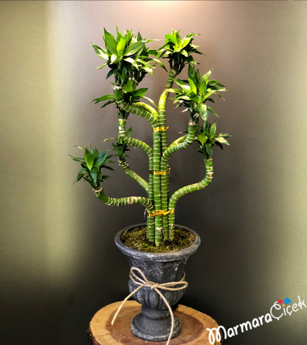 Tiger Bambu Bitkisi
