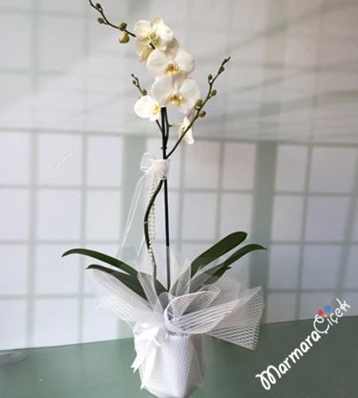 Orkide Çiçek (Phalaenopsis)