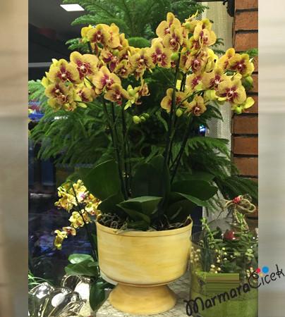 sharmer Orkideler