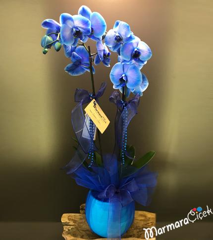 Çift Dallý Mavi Orkide