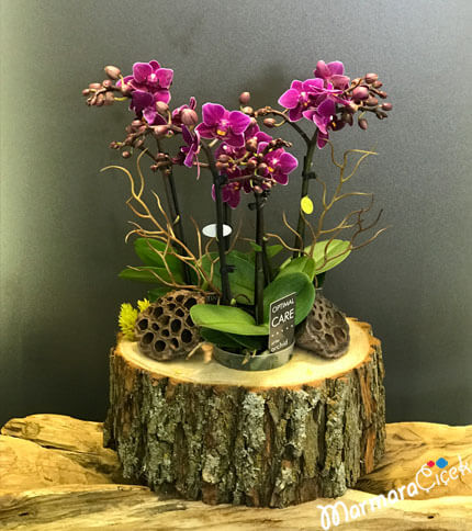 Minyatür Fuþya Orkidem