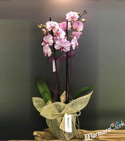 Çift Dallý Orkide Kýrçýllý