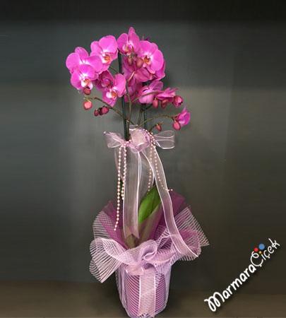 Çift Dallý Fuþya Orkide