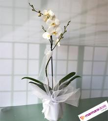 Orkide �i�ek (Phalaenopsis)