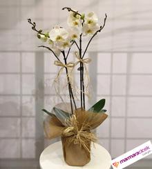 �ift Dall� Orkide (�zel Paket)