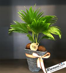 Livistona Rotundifolia Palmiye