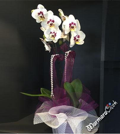 Beyaz Kýrçýllý Orkide