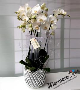 3 Dallý Orkide