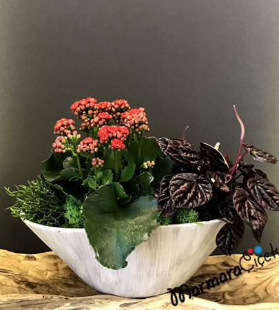 Kalanchoe & Peperomia