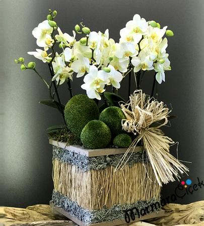 Sandýkda Bougetto Orkide
