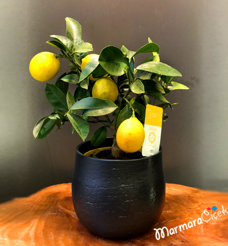 Bodur Limon