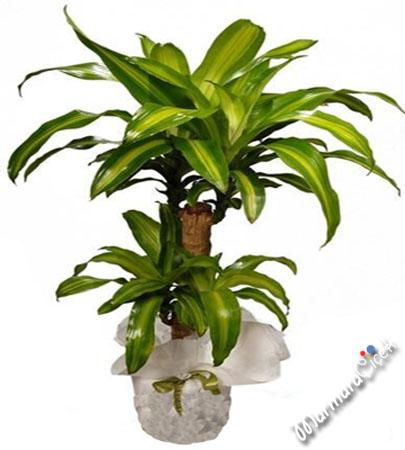 Massengena salon bitkisi uzun m rl saks bitkileri for Salon cicekleri yapay