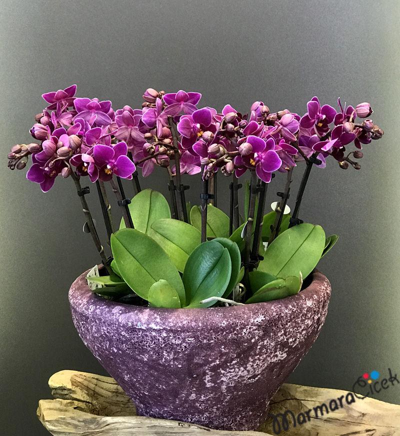 Orkide Karnavalý
