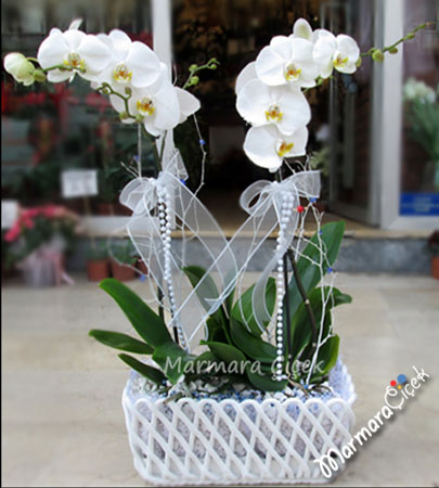 Örgülü Çift Orkide