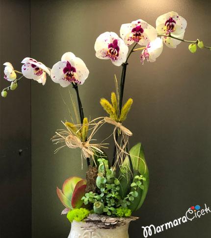 Dalmaçyalý Orkide Aranjmaný