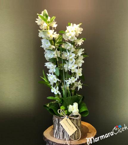 Kütükte Dendrobium Orkide