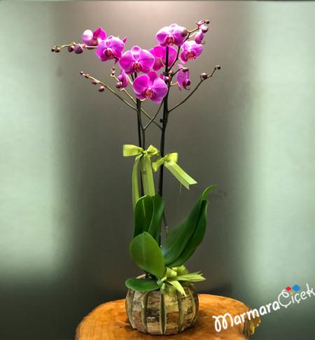 Mor Orkide