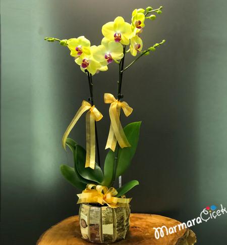Benekli Sarý Orkide