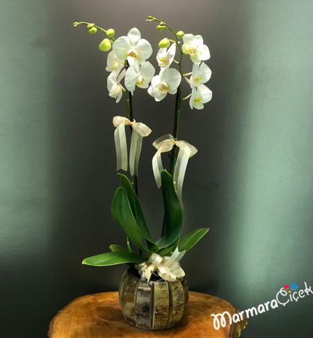 Özel Saksýda Asil Orkide