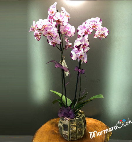 Kýrçýllý Orkide