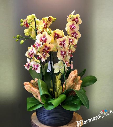 Seramikte Çift Dallý 3 Orkide