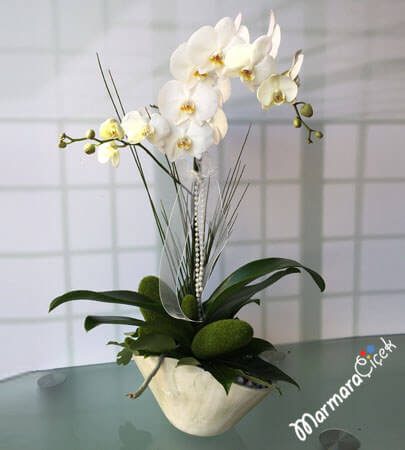 Phalaenopsis Çatallý Orkide